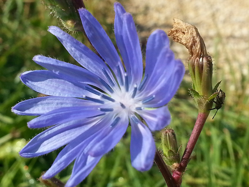 Wegwarte-Blüte - Bild © moonlight 3 auf Pixabay