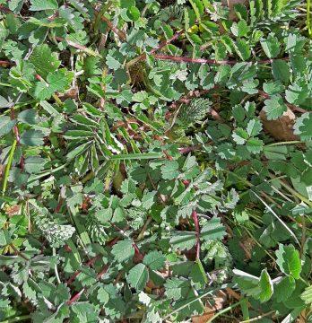 Kleiner Wiesenknopf - Pimpinelle